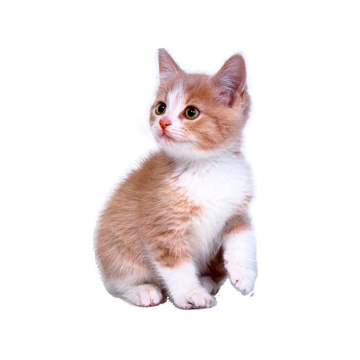 Sitting Kitten PNG Free Download