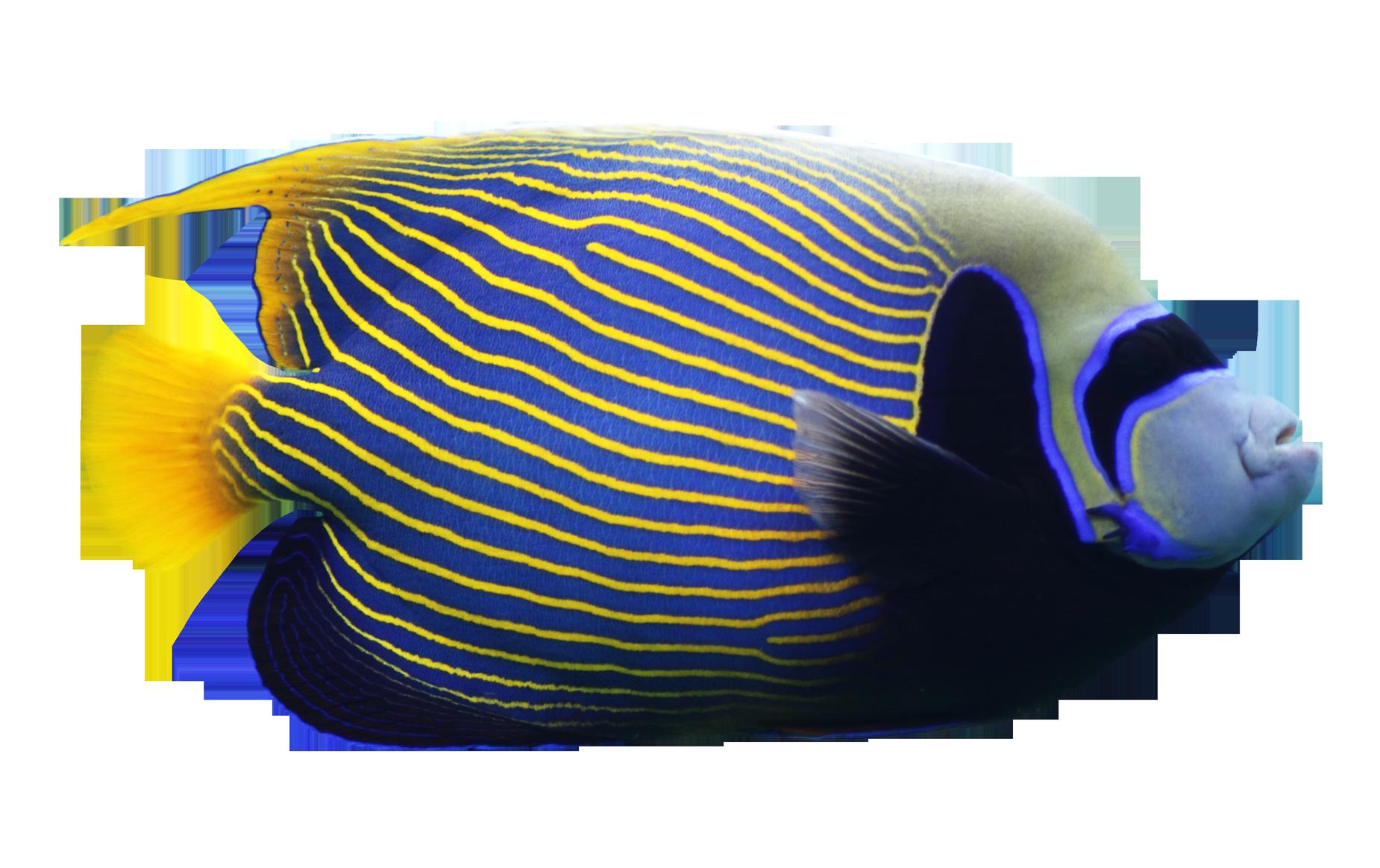 Coral Angelfish PNG Download Image