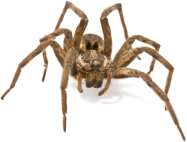 Brown Spider Free PNG Image