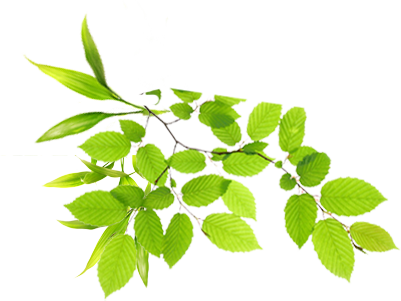 Leaves PNG Picture